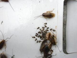 チャバネゴキブリのふ化幼虫たち.jpg