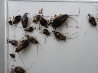 驚きのチャバネゴキブル幼虫の糞の量.jpg