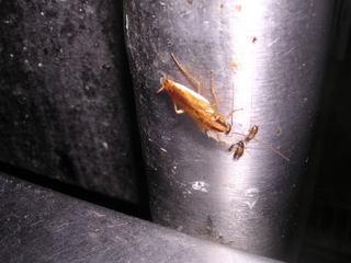 ゴキブリには小さいので大量です.jpg