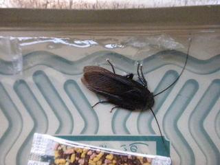 クロゴキブリの成虫.jpg