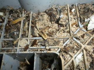 ゴキブリが洗濯機内のゴミに生息.jpg