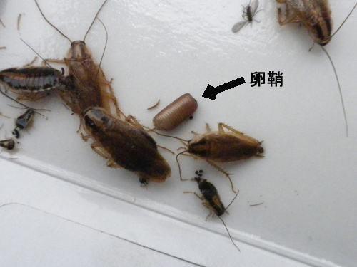 チャバネゴキブリの成虫、幼虫、卵鞘.jpg