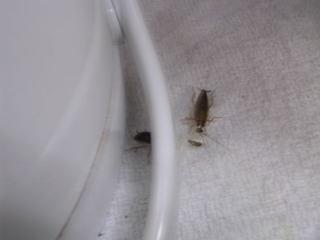 チャバネゴキブリが夜中にうろつく.jpg
